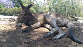 Kangaroo relaxing Stock Photos