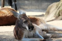Kangaroo relaxing Royalty Free Stock Photography
