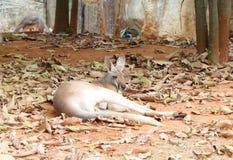 Kangaroo resting Stock Images