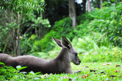 Kangaroo Resting on Grass. A resting Kangaroo lying down on fresh green grass Royalty Free Stock Image