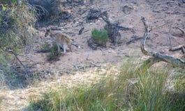 Kangaroo on the Riverbank royalty free stock image