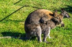 Kangaroo in a Russian zoo. Royalty Free Stock Image