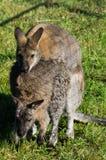 Kangaroo in a Russian zoo. Royalty Free Stock Photos
