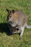 Kangaroo in a Russian zoo. Stock Photography
