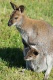 Kangaroo in a Russian zoo. Royalty Free Stock Photo