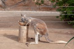 The kangaroo is a marsupial from the family Macropodidae macropods, meaning `large foot` royalty free stock photography