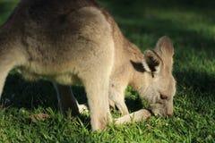 Kangaroo. S eating some grasses Royalty Free Stock Photos