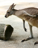A Kangaroo's Gotta scratch! Royalty Free Stock Photography