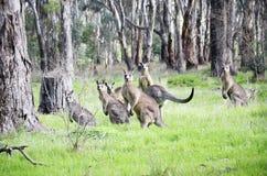 Kangaroo's. Stock Images