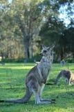 Kangaroo. S looking for something Stock Photo
