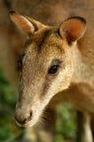 Kangaroo's portrait. It's a red kangaroo (Macropus rufus) from Australia Stock Photos