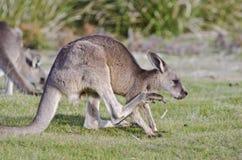 Kangaroo scratching Stock Image