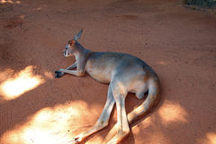 Kangaroo in the Shade at Bush Gardens. The kangaroo is a marsupial from the family Macropodidae macropods, meaning `large foot`. Kangaroos are endemic to Royalty Free Stock Image