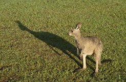 Kangaroo and shadow. Royalty Free Stock Images