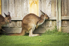 Kangaroo side Stock Photography