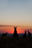 Kangaroo silhouettes at sunset. Stock Photos