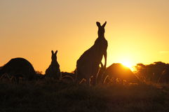 Kangaroo silhouettes at sunset Royalty Free Stock Images
