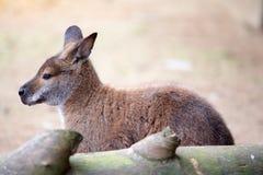 Kangaroo sitting Royalty Free Stock Image