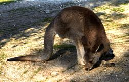 Kangaroo sitting on the ground in the zoological gardens stock image