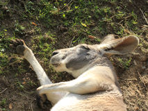 Kangaroo is sleeping Stock Image