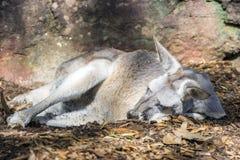 Kangaroo sleeping Royalty Free Stock Photo