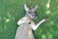Kangaroo Snooze. Kangaroo sleeping on the grass royalty free stock photography