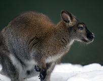 Kangaroo in the snow Stock Photography