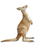 Kangaroo standing stock photography