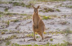 Kangaroo standing in the sand Stock Photos