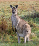 Kangaroo. Standing in the wet grass watching Stock Images