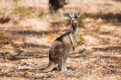 Kangaroo standing in the wild Stock Image