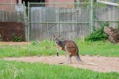 Kangaroo standing in the zoo. Kangaroo standing in the Denver zoo stock images