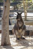 Kangaroo stands next to a tree. In a ZOO Stock Image