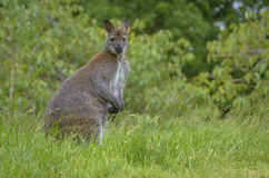 Kangaroo Staring at the Camera Royalty Free Stock Photos