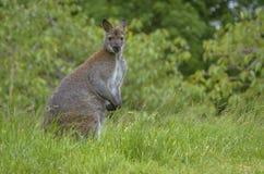 Kangaroo Staring at the Camera Royalty Free Stock Photos