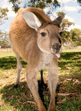 A kangaroo sticks out his tongue stock photo