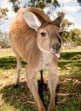 A kangaroo sticks out his tongue. A close up of a kangarro sticking his tongue out, adelaide australia Stock Photo