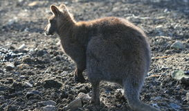 Kangaroo sunbathing in late afternoon sun. Picture of a Kangaroo sunbathing in the late afternoon sun, standing on two legs and with eyes closed Stock Photography