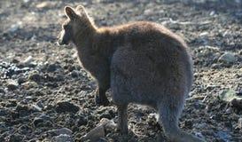 Kangaroo sunbathing in late afternoon sun Stock Photography