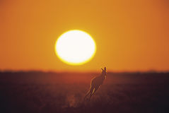 Kangaroo. At sunset, outback Australia Royalty Free Stock Images