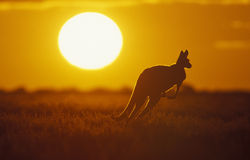 Kangaroo. In Sunset in Sturt National Park in the far west of NSW Stock Images