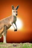 Kangaroo at sunset Stock Image