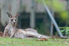Nap time. Kangaroo is taking a nap time Royalty Free Stock Images