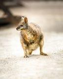 Kangaroo,  tammar wallaby Stock Photo