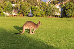 Kangaroo in touring car camp,australia Stock Images