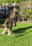 Kangaroo in touring car camp,australia Stock Photography