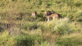 Kangaroo Troop - Australian Wildlife stock video footage
