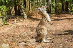 Kangaroo in Trowunna Wildlife Park Stock Photos
