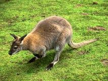 Kangaroo in the UK zoo Stock Photography