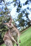Kangaroo under a afternoon sky Royalty Free Stock Photos